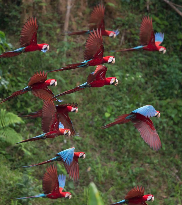 An Exciting Visit to a Macaw Clay Lick in Peru