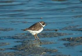 Shorebirds Have Started to Migrate South