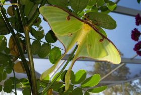 5 Silk Moths That Might Be In Your Garden