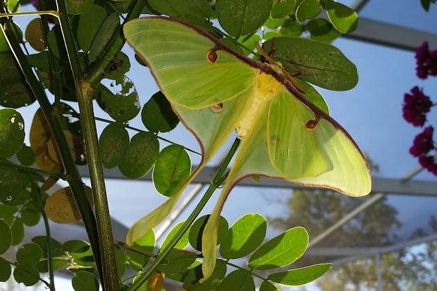 Silk Moth Actias Luna