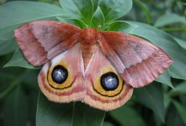Silk Moths Io Moth