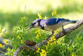 Meet the Jays: Blue Jays, Steller's Jays, and Western Scrub-Jays