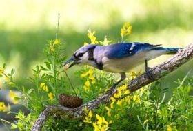 Meet the Jays: Blue Jays, Steller's Jays, and Western Scrub-Jays