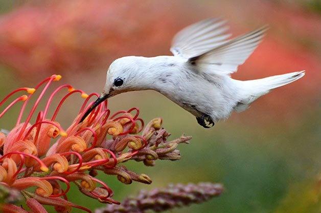 leucistic Anna's hummingbird