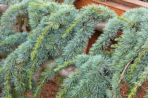 cedar small evergreen shrub