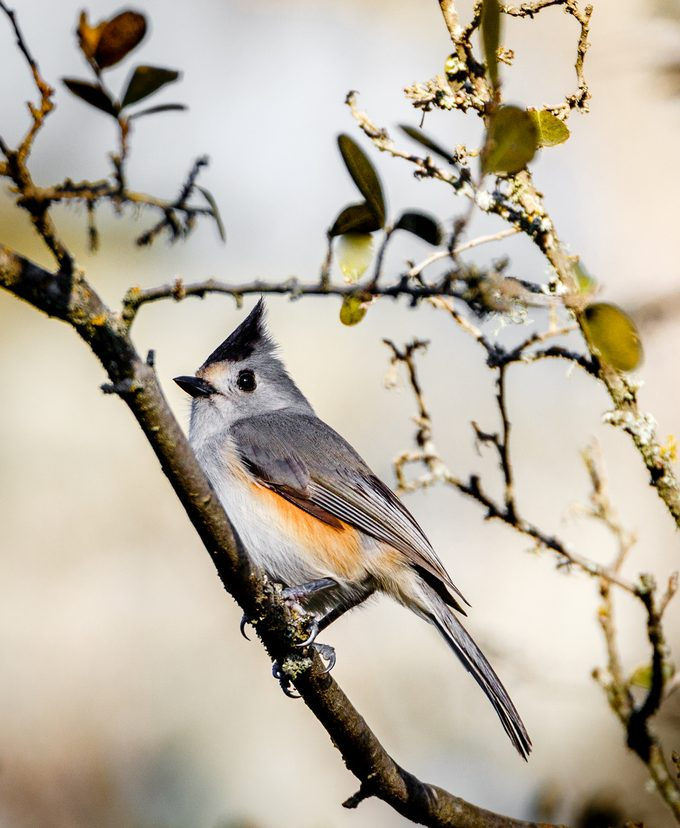 black-crested-titmouse