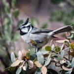 Attract Titmice to Visit Your Backyard