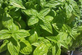 5 Basil Varieties For Your Herb Garden