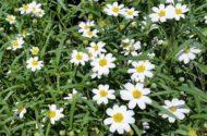 Blackfoot Daisy Melampodium leucanthum