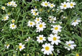Blackfoot Daisy for Drought-Tolerant Gardens