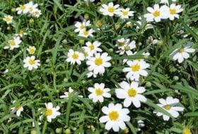 Blackfoot Daisy for Drought-Tolerant Gardens