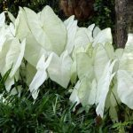 Try Caladiums for Shade Gardens