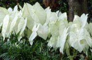 Caladiums Shade Gardens