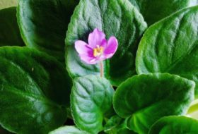 Four Tips for Growing African Violets