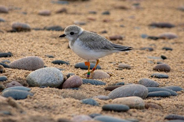 What Shorebirds Are You Seeing?
