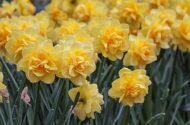 10 of the Best Daffodil Bulbs to Plant This Fall