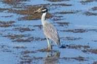 Yellow Crowned Night Heron 2
