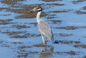 Night Heron Species of North America