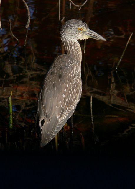 Yellow Crowned Night Heron Juvenile