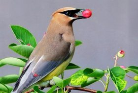 How to Attract Waxwings with Berries