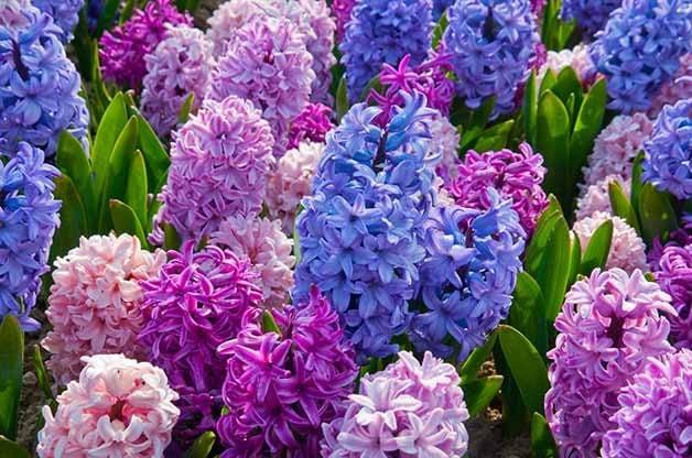 hyacinth etoufee