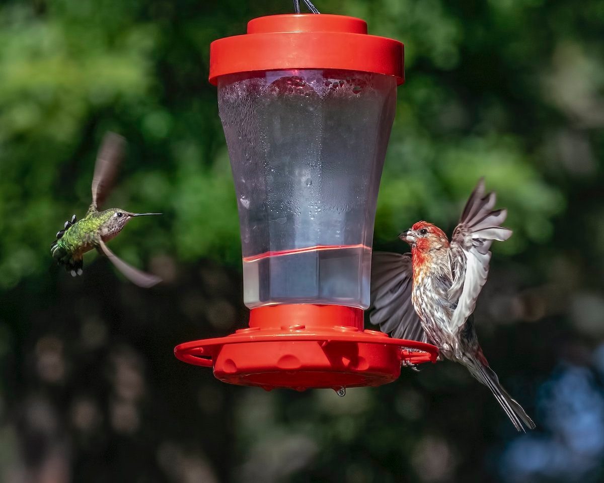 House finch at hummingbird feeder