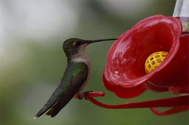 oz s hummingbirds prod feeder hummingbird cfm jb lg clean feeders dr product vendor wild humming bird for display