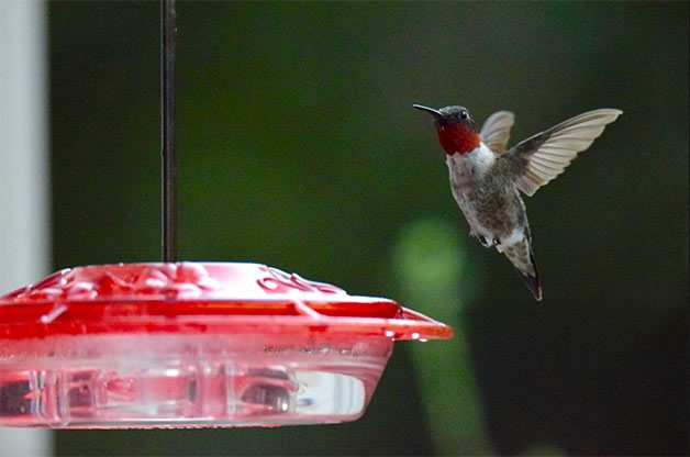Hummingbird lands on hummingbird feeder.