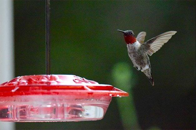 Hummingbird lands on sugar water feeder.
