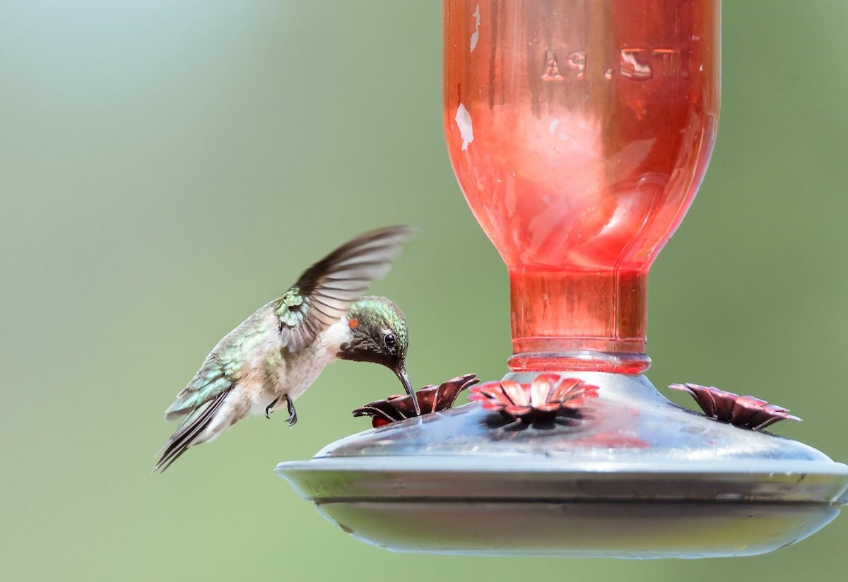 hummingbird sugar water feeder