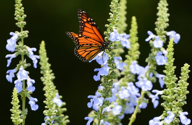 monarch on sage