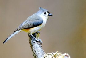 Attract Titmice to Your Backyard