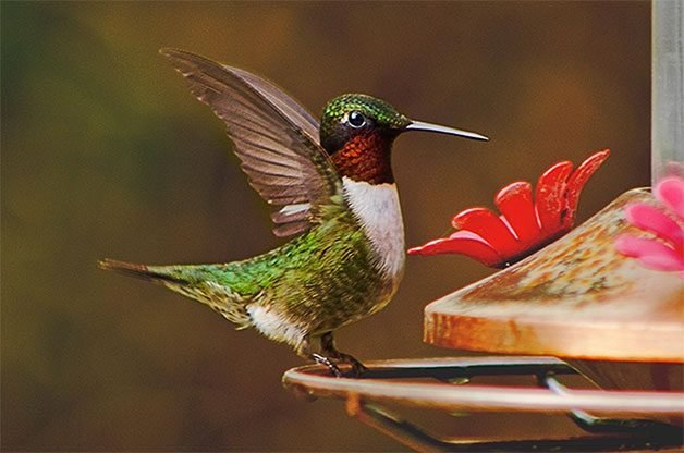 Attract Hummingbirds Or Increase Their Traffic In Your Yard With These Expert Sugar Water Tips