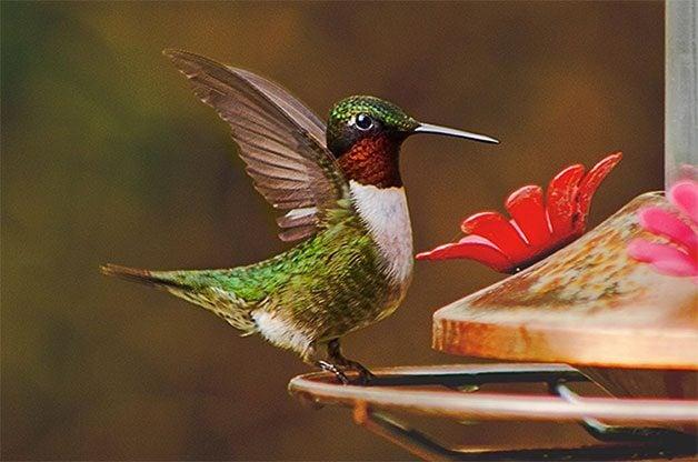Hummingbird Sugar Water 101 Birds Blooms