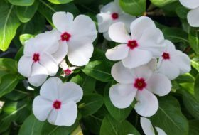 Annual Vinca for Flower Gardens and Containers
