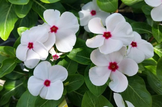 annual vinca for flower gardens and containers flower gardening
