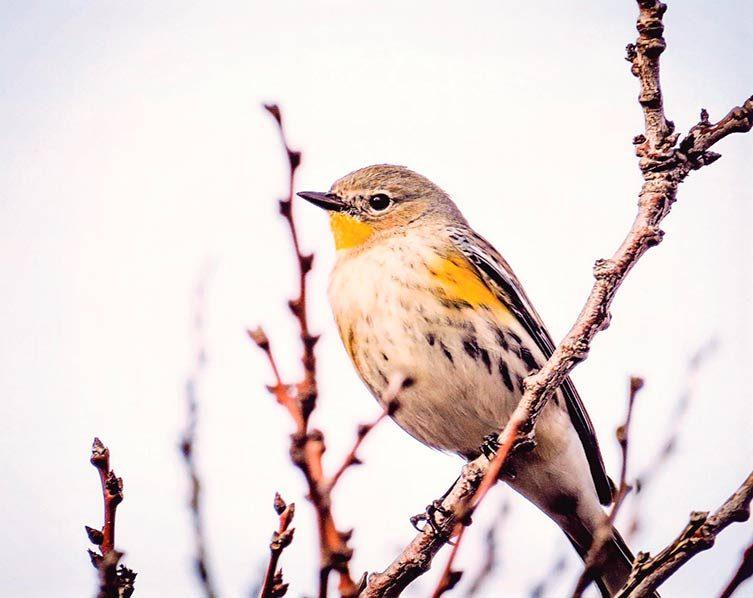 yellow rumped warbler, autumn birds