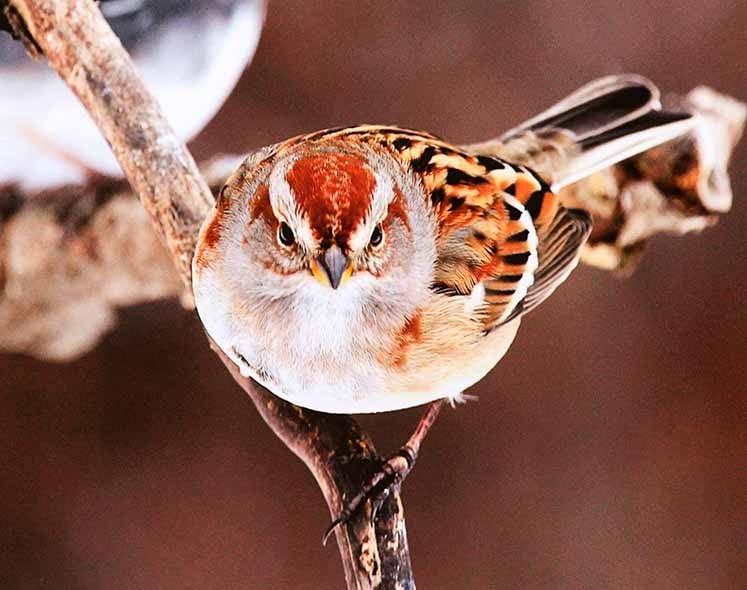 american tree sparrow, autumn birds