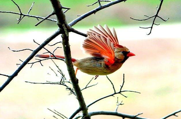 northern cardinal, autumn birds