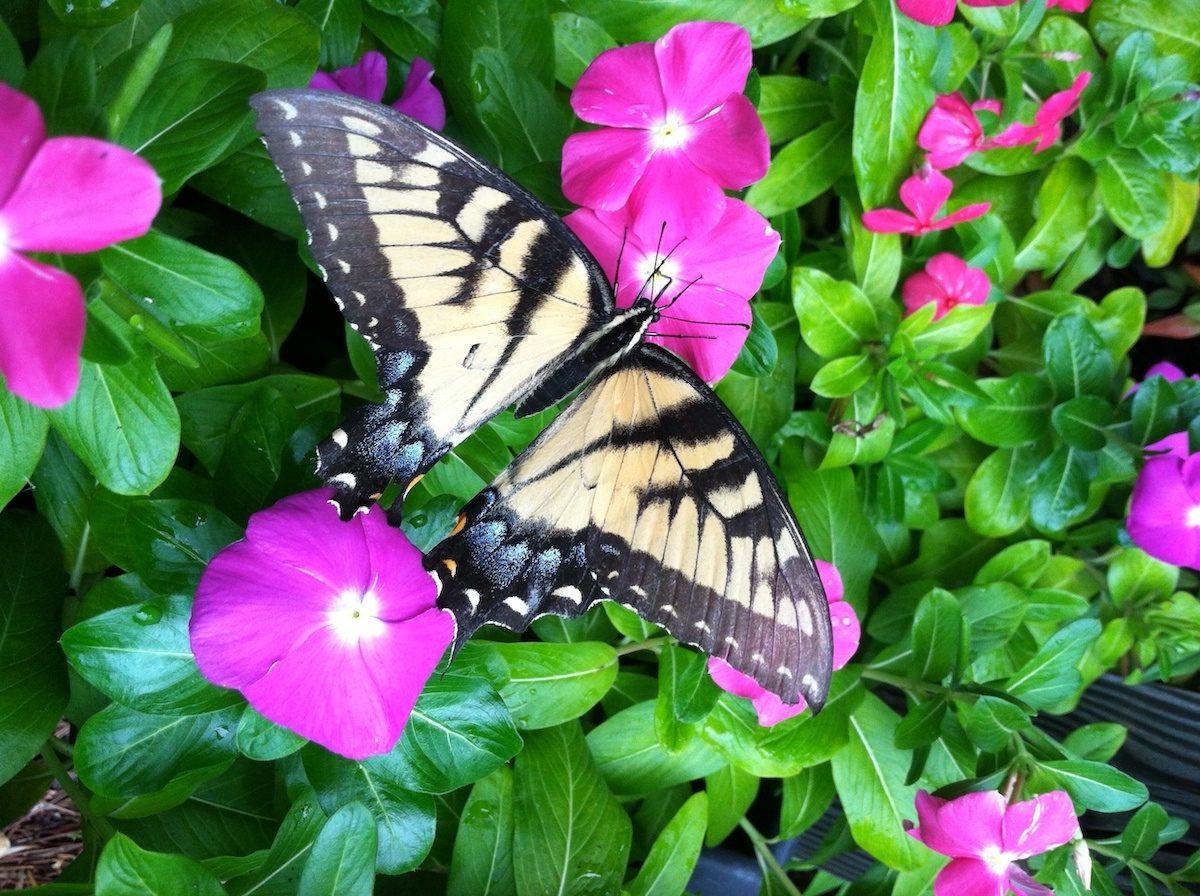 Eastern Tiger Swallowtail On vinca flowers