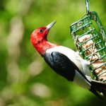 Birding Basics: Our Guide to Making Suet for Birds