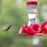 Keep Feeders Up for Late Migrating Fall Hummingbirds