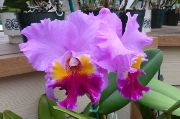Growing Orchids Cattleya
