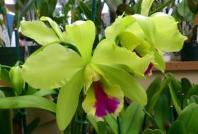 Growing Orchids: Cattleya