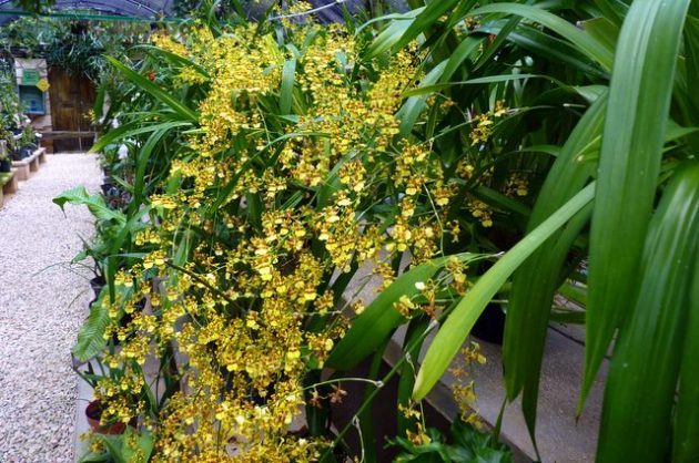 Growing Orchids Oncidium