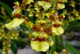 Growing Orchids: Oncidium, or Dancing Lady