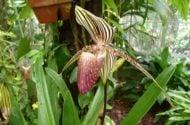 Growing Orchids Paphiopedilum