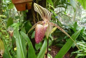 Growing Orchids: Paphiopedilum, or Lady's Slipper