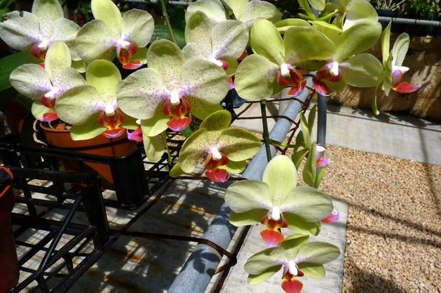 Growing Orchids Phalaenopsis