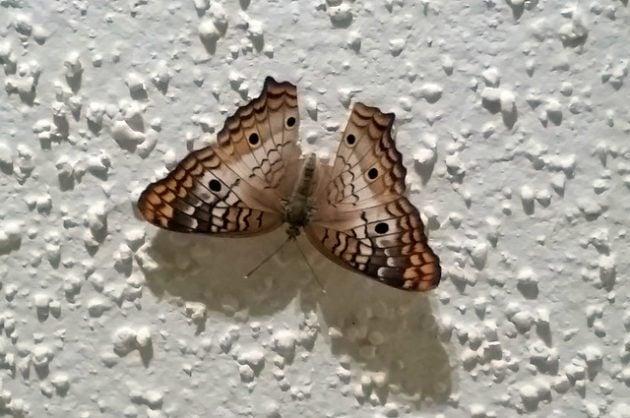 Hurricane Irma Butterfly
